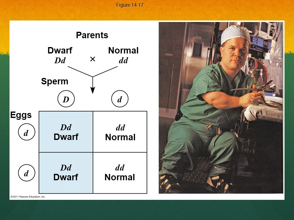 Figure 14.17 Parents Dwarf Dd Sperm Eggs Dd Dwarf dd Normal Dd Dwarf dd Normal D d d d Normal dd