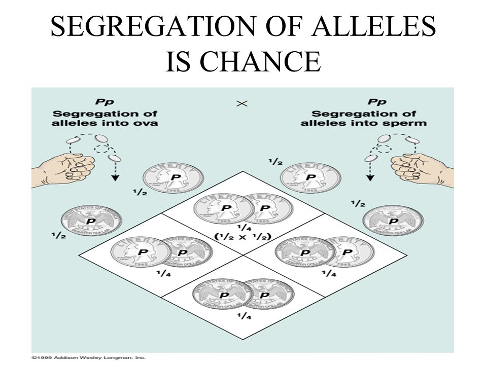 SEGREGATION OF ALLELES IS CHANCE