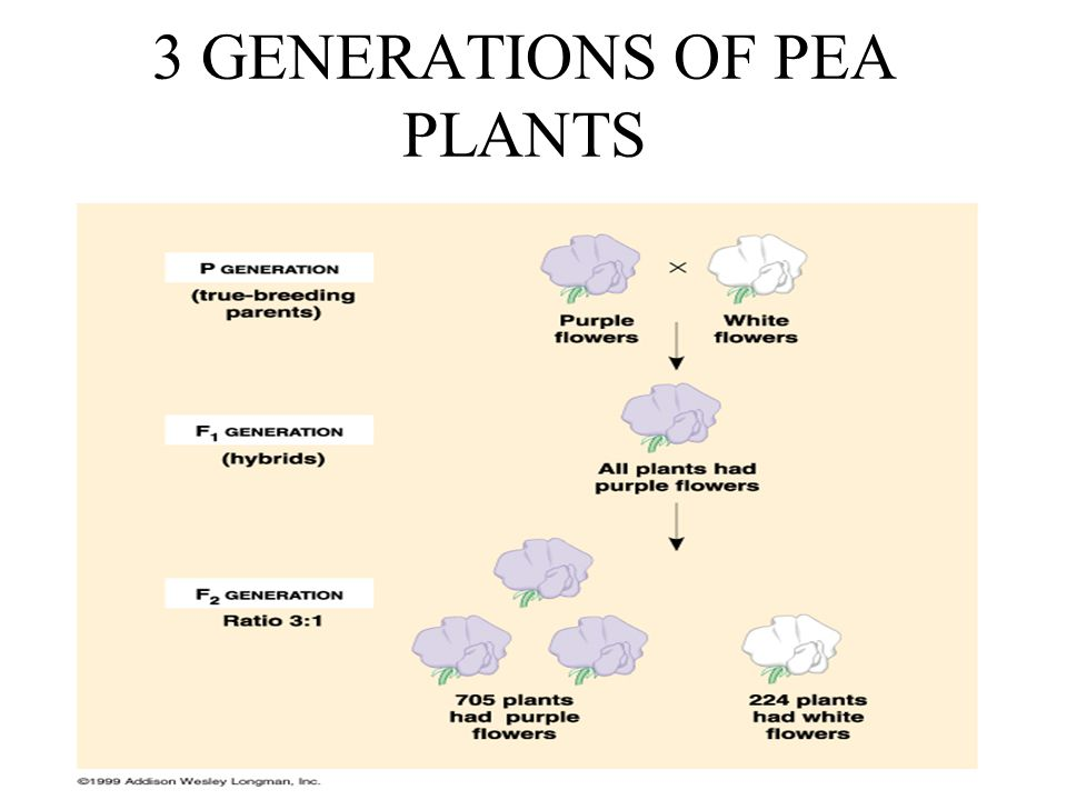 3 GENERATIONS OF PEA PLANTS