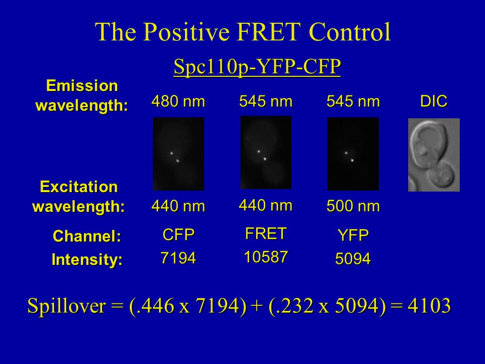 Spc110p-YFP-CFP The Positive FRET ControlEmissionwavelength: Excitationwavelength: Channel:DICIntensity: 500 nm 545 nm YFP 5094 440 nm 545 nm FRET 10587 440 nm 480 nm CFP 7194 Spillover = (.446 x 7194) + (.232 x 5094) = 4103