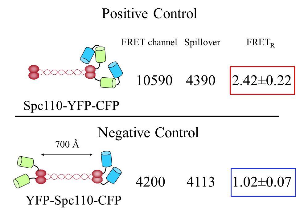 Spillover Positive Control YFP-Spc110-CFP 420041131.02±0.07 Spc110-YFP-CFP 1059043902.42±0.22 Negative Control 700 Å FRET R FRET channel