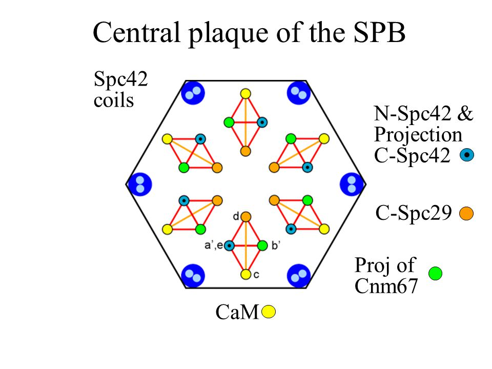 Central plaque of the SPB CaM Proj of Cnm67 N-Spc42 & Projection C-Spc42 C-Spc29 Spc42 coils