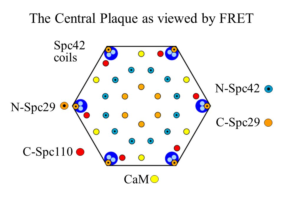 The Central Plaque as viewed by FRET CaM N-Spc42 C-Spc29 C-Spc110 N-Spc29 Spc42 coils