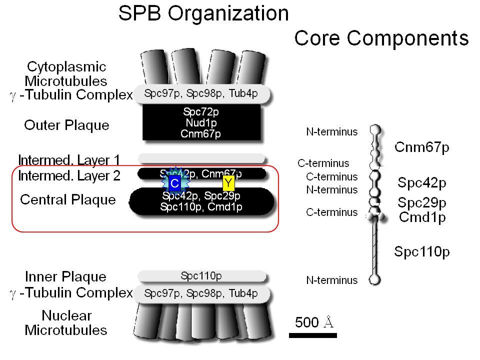 The Central Plaque as viewed by FRET CaM N-Spc42 C-Spc29 C-Spc110 N-Spc29 Spc42 coils
