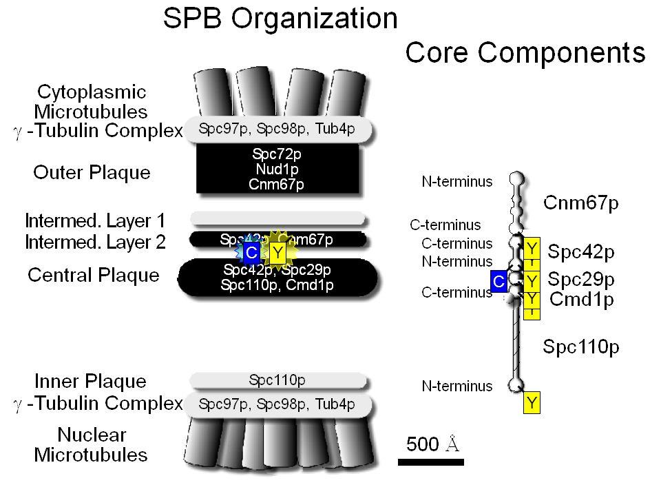 Model of the Central Plaque Spc29 Spc42 Spc110 CaM
