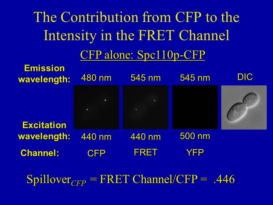 Spillover YFP = FRET Channel/YFP =.232 YFP alone: Spc110p-YFP The Contribution from YFP to the Intensity in the FRET Channel Emissionwavelength: Excitationwavelength: Channel: 500 nm 545 nm YFP 440 nm 545 nm FRET 440 nm 480 nm CFPDIC