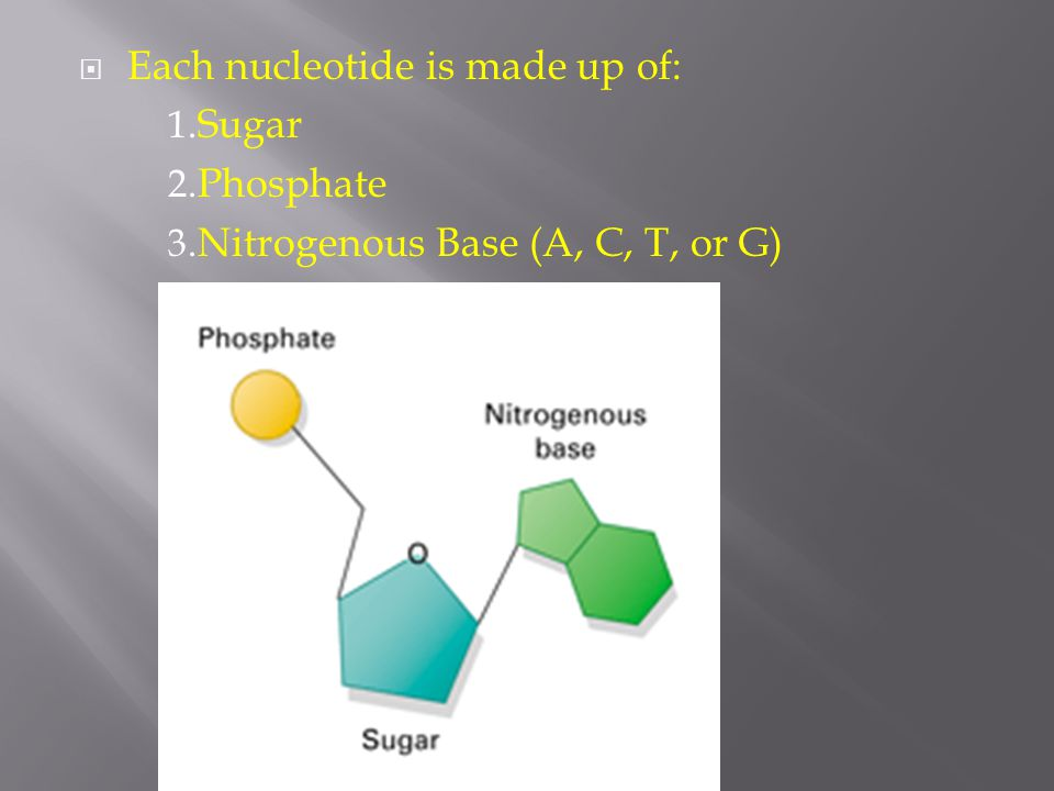  Each nucleotide is made up of: 1. Sugar 2. Phosphate 3. Nitrogenous Base (A, C, T, or G)