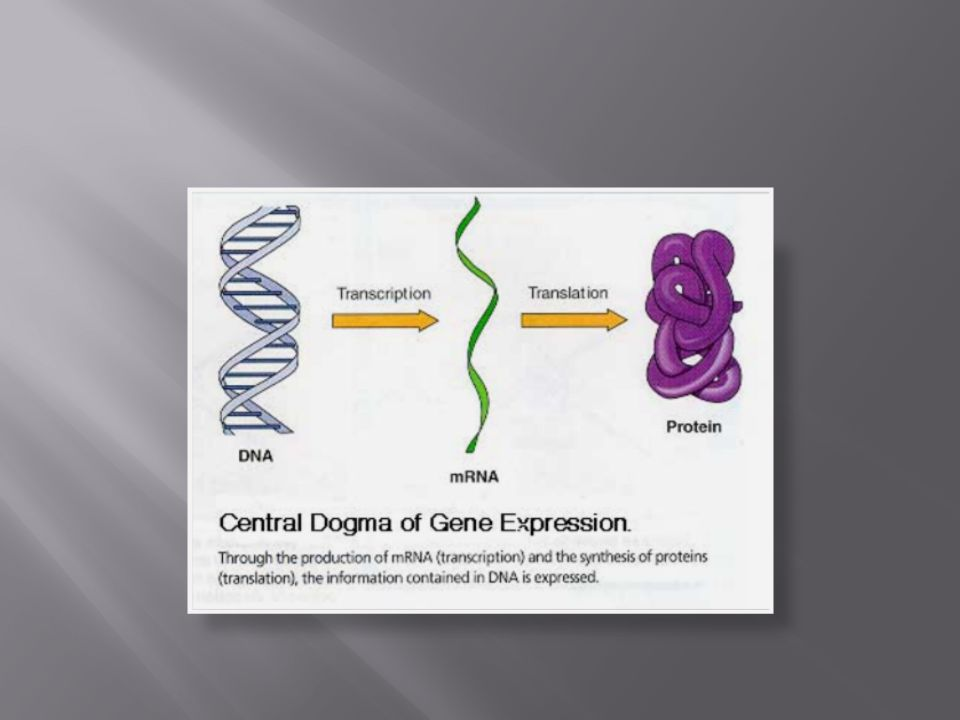 Small, distinct sections of DNA are called genes.These genes control specific traits.