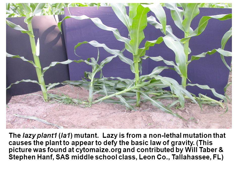 The corn mutant albescent plant1 (al1), summer 2004.