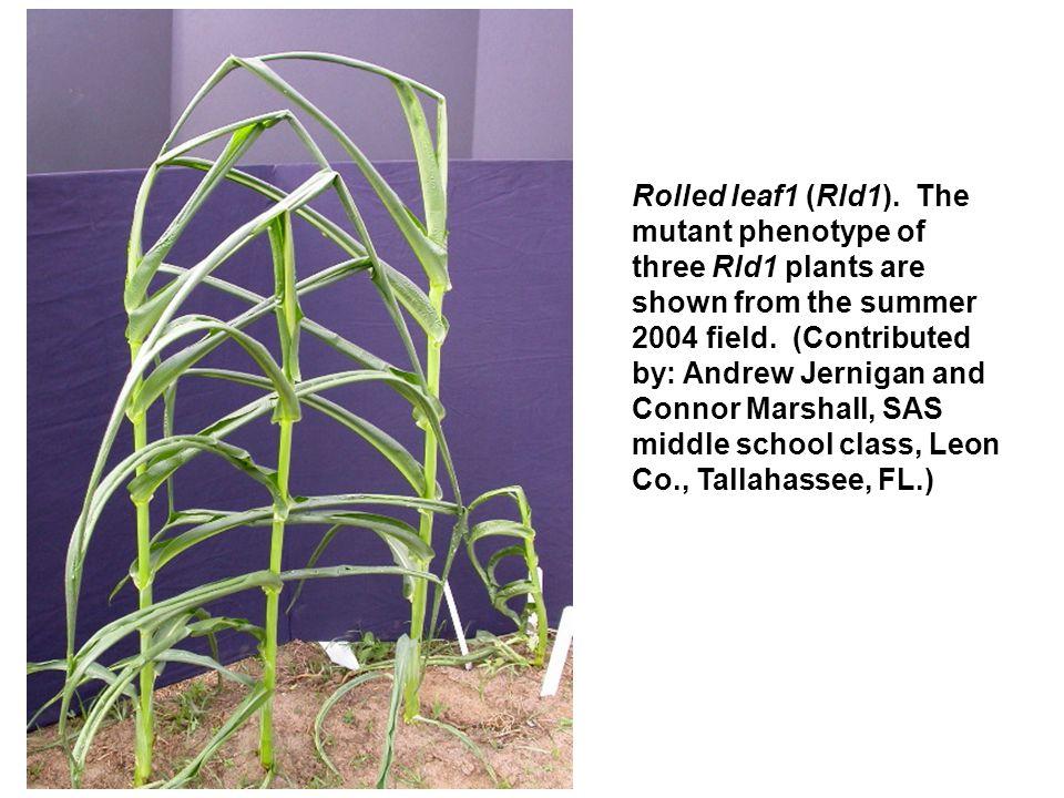 Two albescent plant1 (al1) mutants.