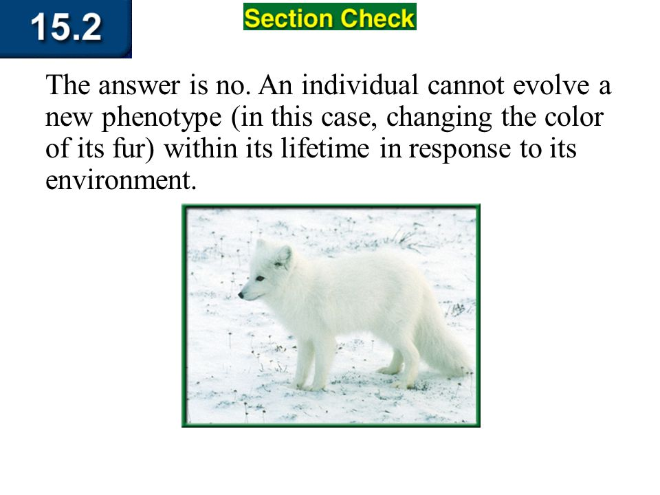 The answer is no. An individual cannot evolve a new phenotype (in this case, changing the color of its fur) within its lifetime in response to its env