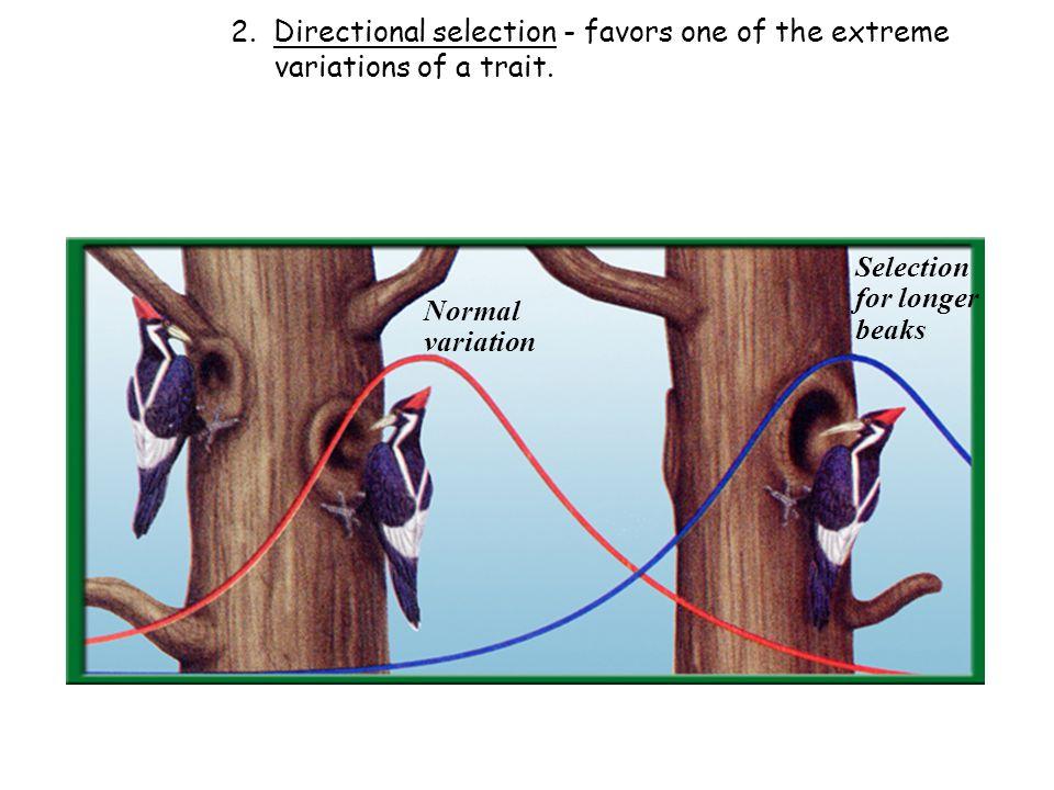 Normal variation Selection for longer beaks 2.
