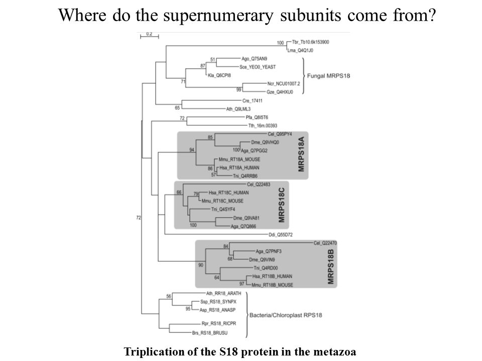 Triplication of the S18 protein in the metazoa Where do the supernumerary subunits come from