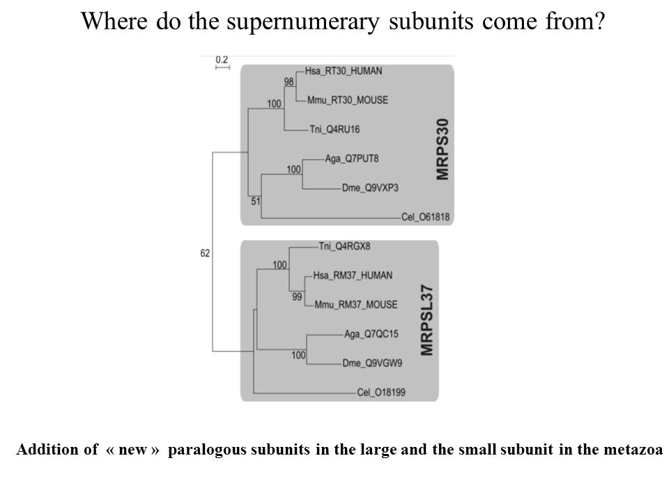 Addition of « new » paralogous subunits in the large and the small subunit in the metazoa Where do the supernumerary subunits come from