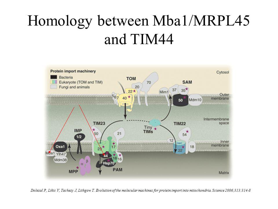 Homology between Mba1/MRPL45 and TIM44 Dolezal P, Likic V, Tachezy J, Lithgow T.