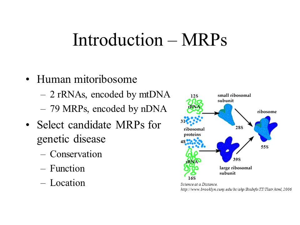 Introduction – MRPs Human mitoribosome –2 rRNAs, encoded by mtDNA –79 MRPs, encoded by nDNA Select candidate MRPs for genetic disease –Conservation –Function –Location 55S 28S 39S 12S 16S 31 48 Science at a Distance.