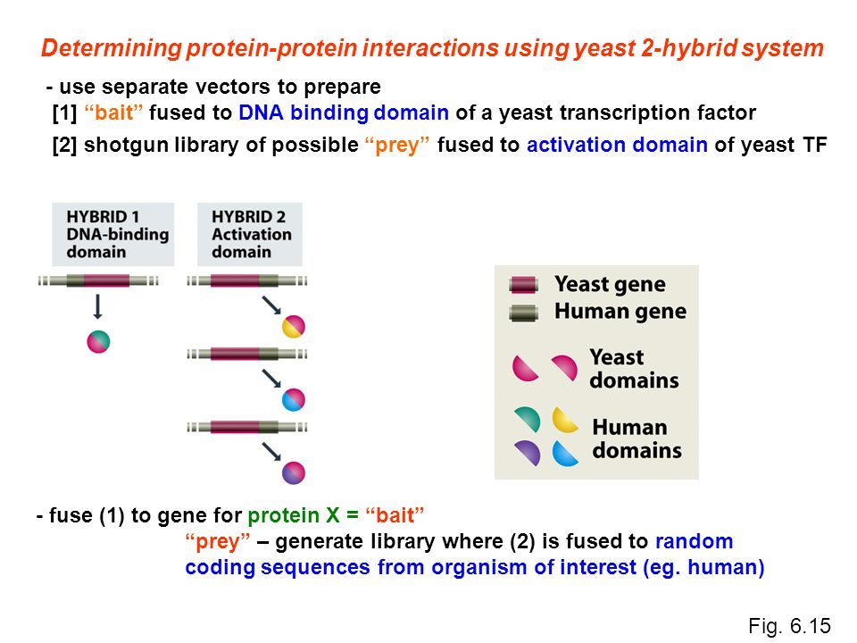 "Determining protein-protein interactions using yeast 2-hybrid system - use separate vectors to prepare [1] ""bait"" fused to DNA binding domain of a yea"