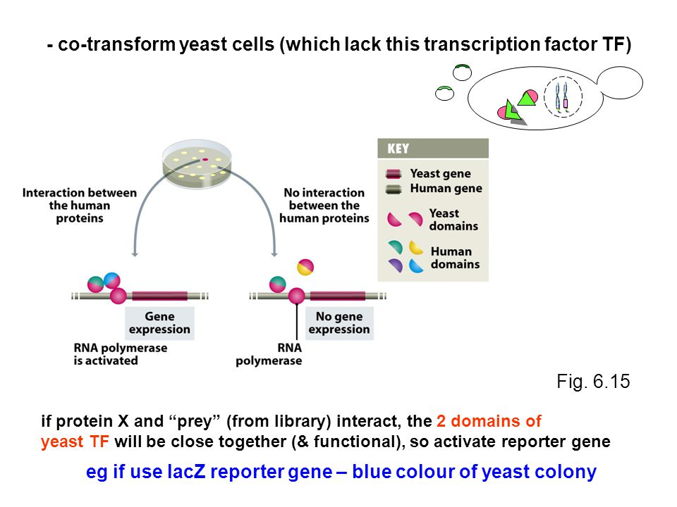 - co-transform yeast cells (which lack this transcription factor TF) if protein X and prey (from library) interact, the 2 domains of yeast TF will be close together (& functional), so activate reporter gene Fig.
