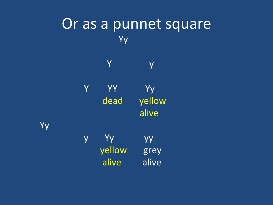 Or as a punnet square Yy Y YY Yy dead yellow alive Yy y Yy yy yellow grey alive alive