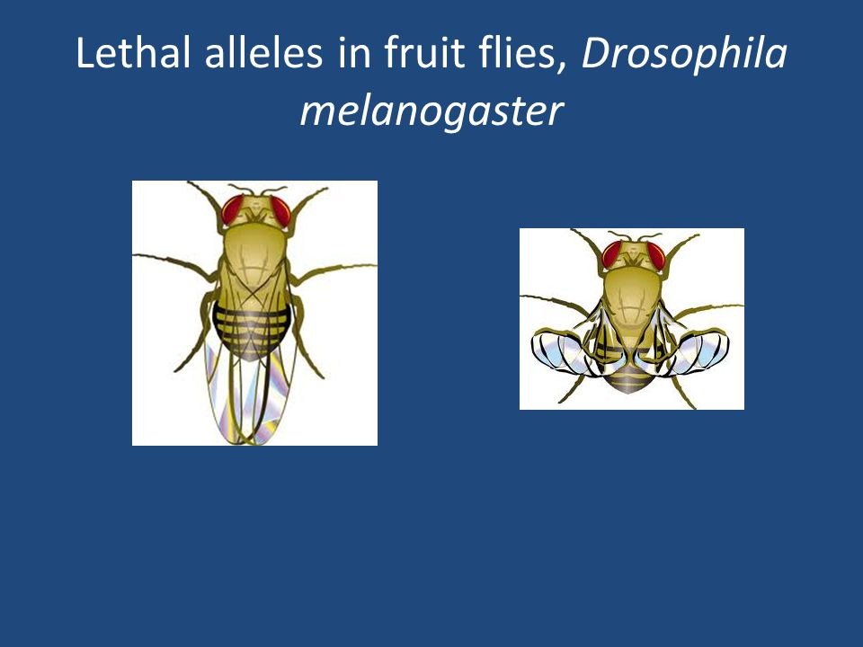Lethal alleles in fruit flies, Drosophila melanogaster