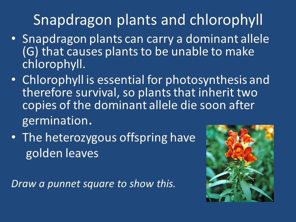 Snapdragon plants and chlorophyll Snapdragon plants can carry a dominant allele (G) that causes plants to be unable to make chlorophyll.