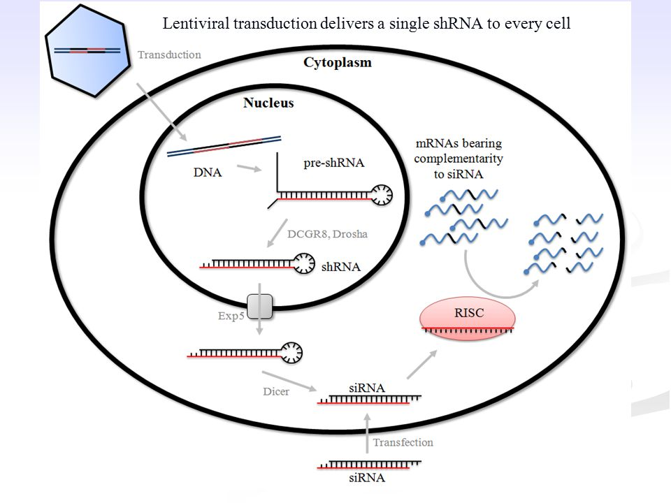 Lentiviral transduction delivers a single shRNA to every cell