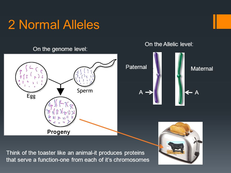 2 Normal Alleles On the genome level: Progeny On the Allelic level: Paternal Maternal A A Think of the toaster like an animal-it produces proteins that serve a function-one from each of it's chromosomes