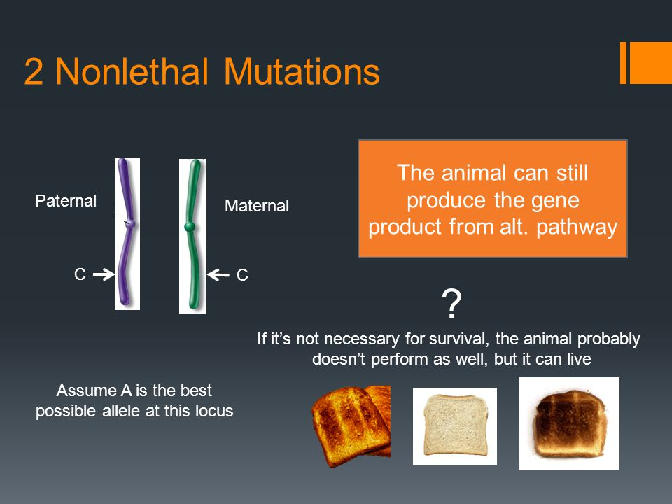 Broken Genes  Called Loss of Function Mutations (LOF)  Can be one of two forms  Not Critical for Life  Will see all genotypes in the population (AA, AB, and BB)  Animals may have reduced performance or other deleterious effects, but are functional organisms  Critical for Life  Animals cannot survive without at least one fully functional version of these genes