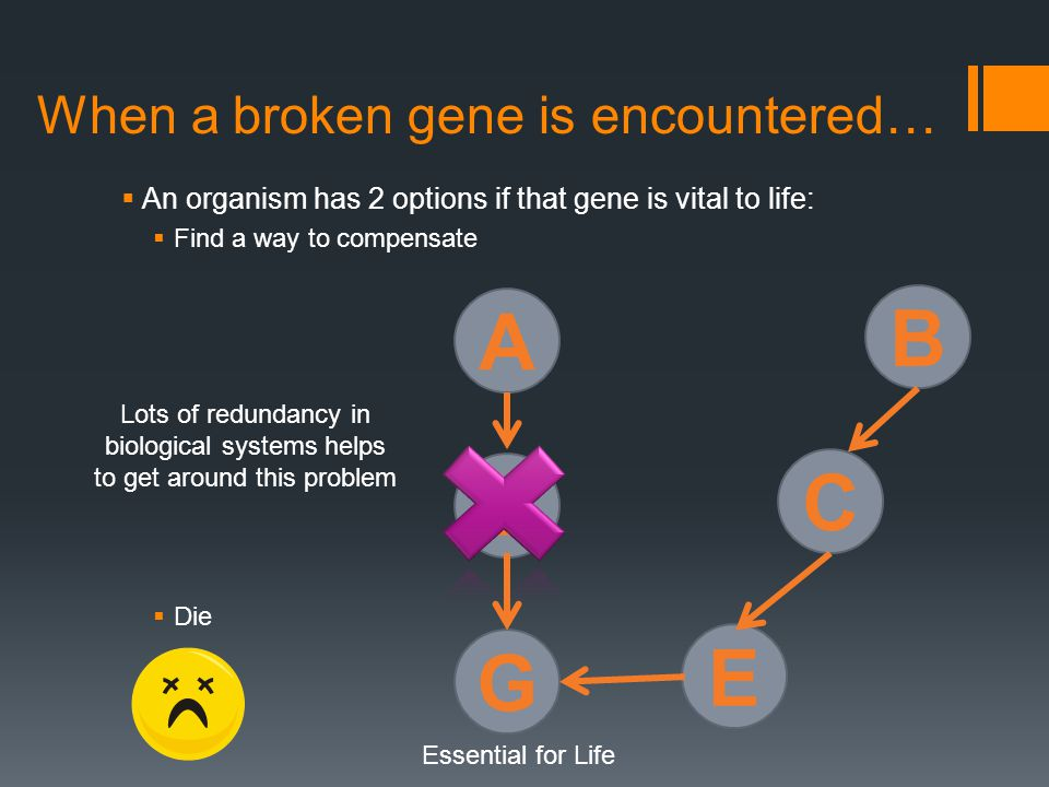 When a broken gene is encountered…  An organism has 2 options if that gene is vital to life:  Find a way to compensate  Die A D G Essential for Life B C E Lots of redundancy in biological systems helps to get around this problem