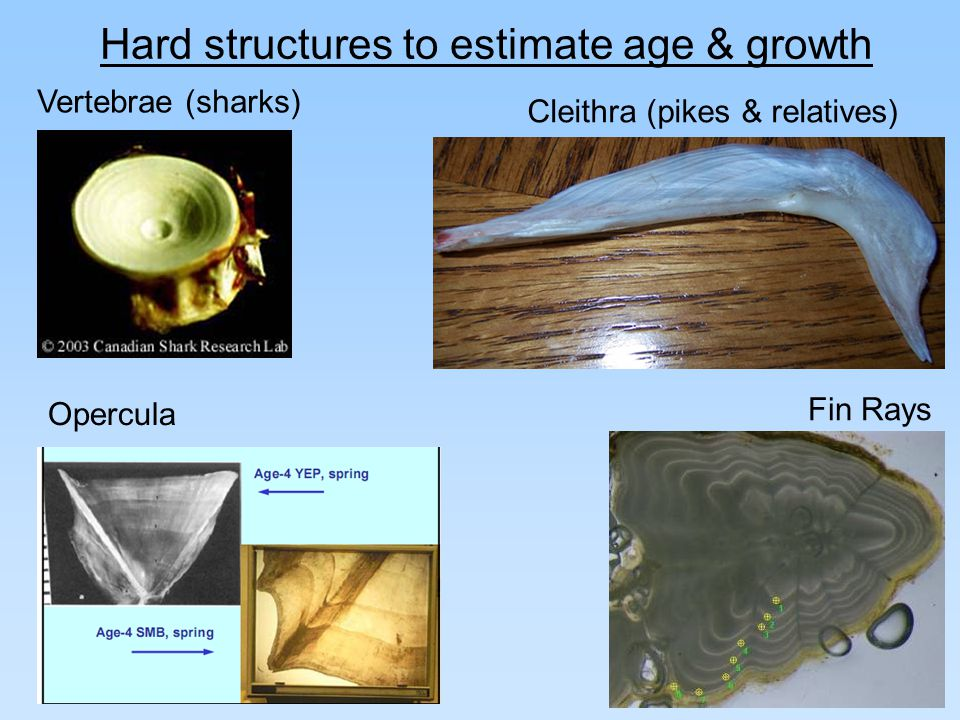 Otoliths (lethal) Scales (non-lethal) Hard structures to estimate age & growth