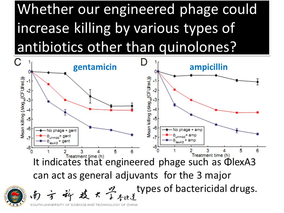 Whether our engineered phage could increase killing by various types of antibiotics other than quinolones.