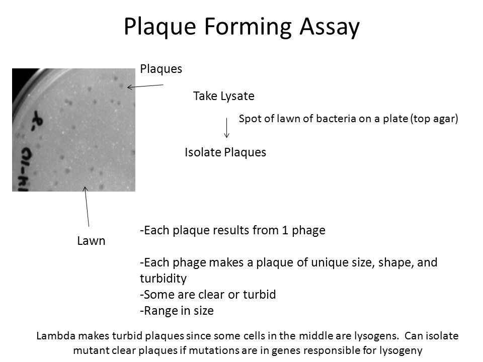 Plaque Forming Assay Take Lysate Spot of lawn of bacteria on a plate (top agar) Isolate Plaques -Each plaque results from 1 phage -Each phage makes a