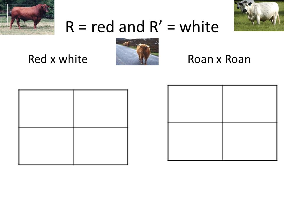 R = red and R' = white Red x whiteRoan x Roan