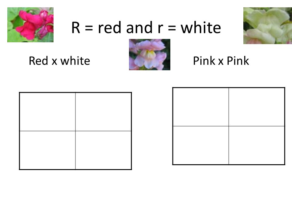 R = red and r = white Red x whitePink x Pink
