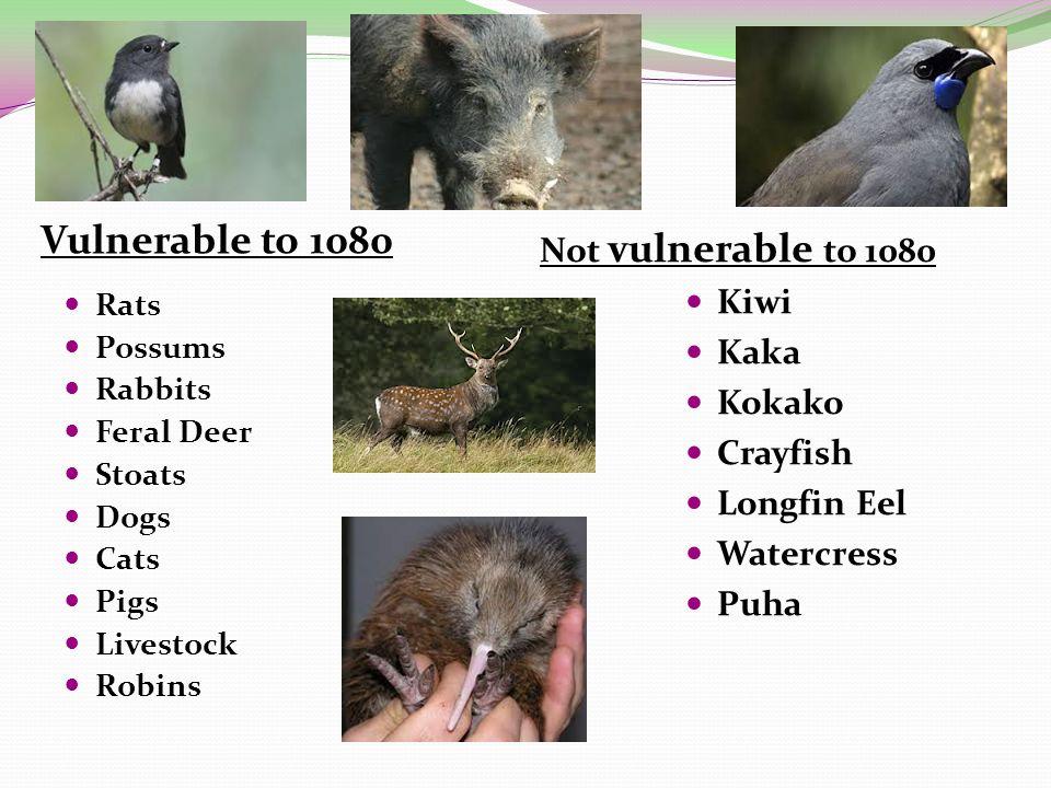 Vulnerable to 1080 Not vulnerable to 1080 Rats Possums Rabbits Feral Deer Stoats Dogs Cats Pigs Livestock Robins Kiwi Kaka Kokako Crayfish Longfin Eel Watercress Puha