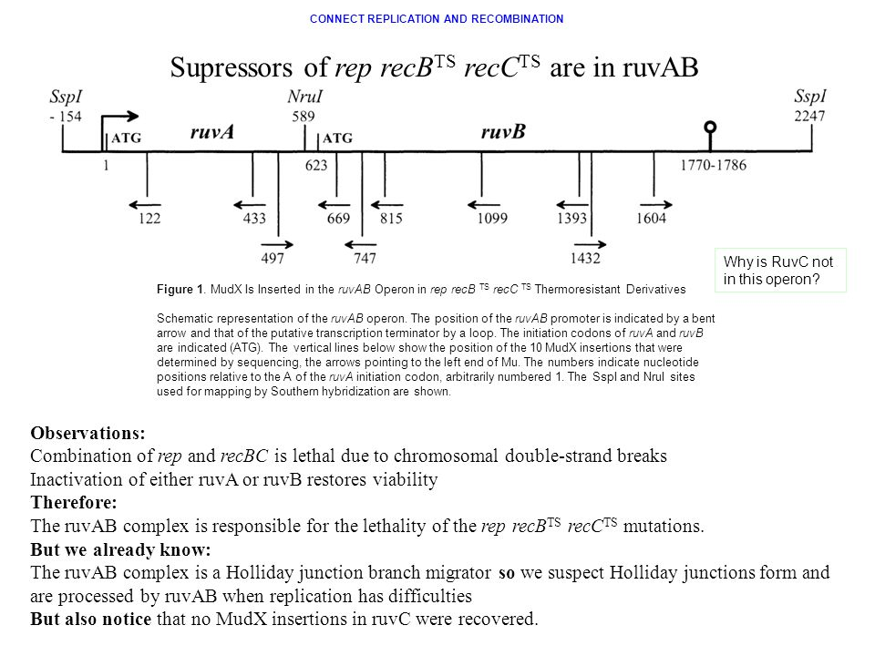 Figure 1. MudX Is Inserted in the ruvAB Operon in rep recB TS recC TS Thermoresistant Derivatives Schematic representation of the ruvAB operon. The po
