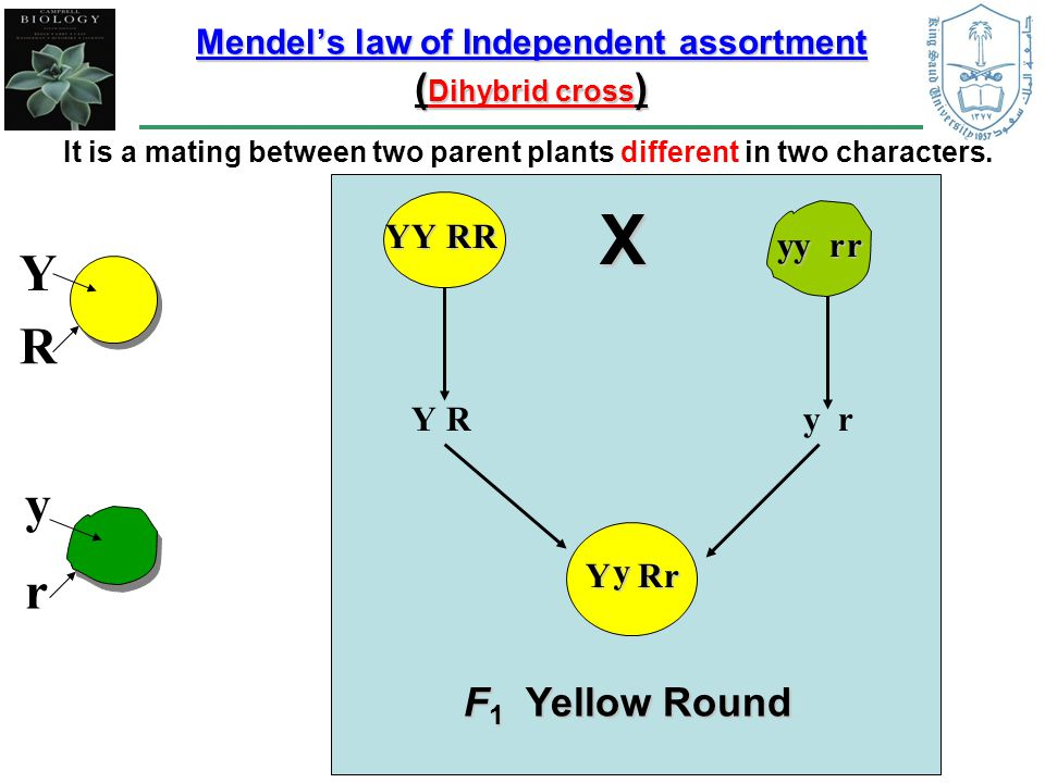 Mendel's law of Independent assortment ( Dihybrid cross ) It is a mating between two parent plants different in two characters.
