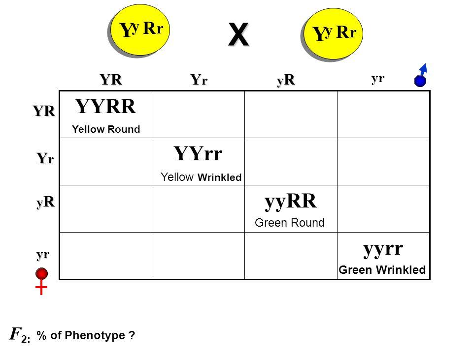 R Y y r X R Y y r yyrr yyRR YYrr YYRRYR YrYrYrYr yRyRyRyR yrYR YrYrYrYr yRyRyRyR yr Yellow Round Yellow Wrinkled Green Round Green Wrinkled F 2: % of Phenotype