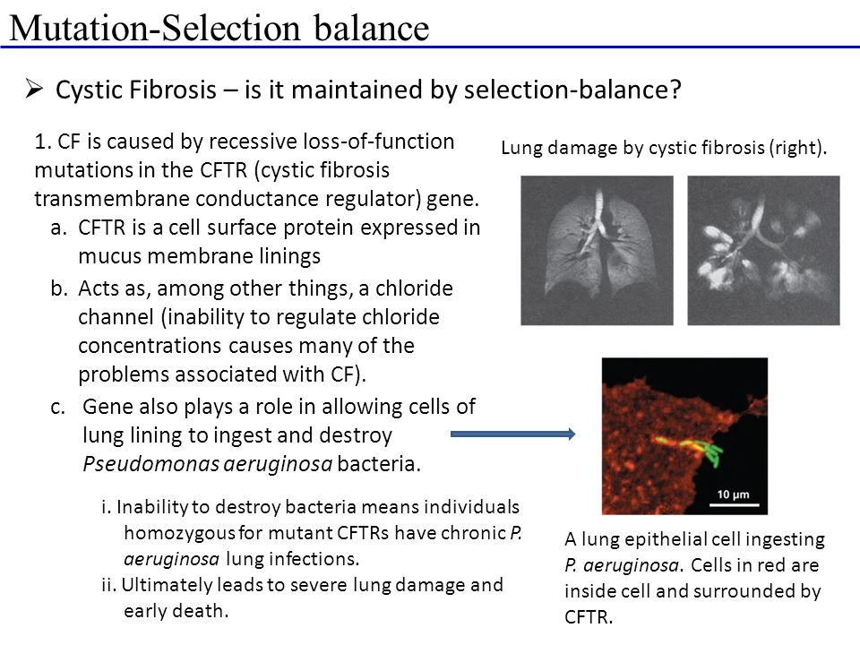 Mutation-Selection balance  Cystic Fibrosis – is it maintained by selection-balance? Lung damage by cystic fibrosis (right). 1. CF is caused by reces