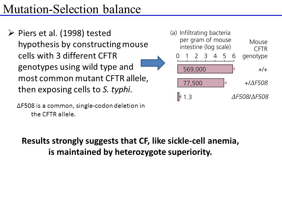 Mutation-Selection balance  Piers et al. (1998) tested hypothesis by constructing mouse cells with 3 different CFTR genotypes using wild type and mos