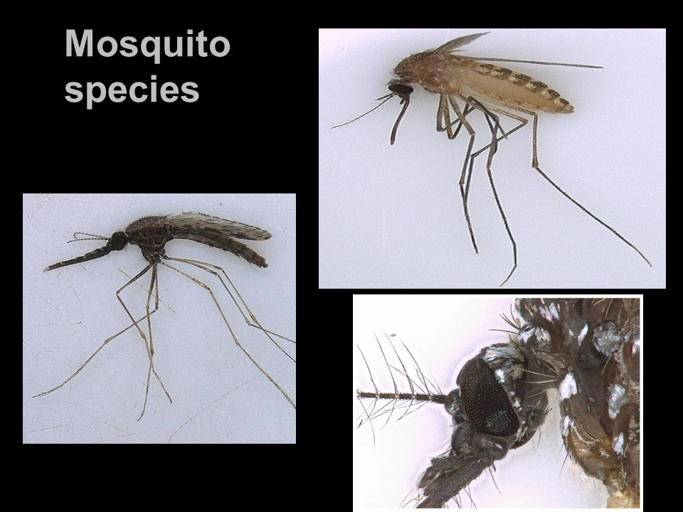 Behavioral assays Entrance Air+ CO 2 *Capillary release attractant *CO 2 release 50ml/min Attractant *Infrared light was used illuminate nocturnally active mosquitoes.