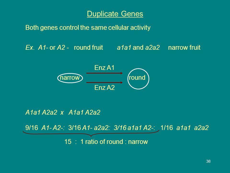 38 Duplicate Genes Both genes control the same cellular activity Ex.