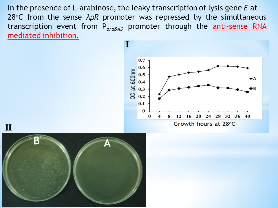 In the presence of L-arabinose, the leaky transcription of lysis gene E at 28 o C from the sense λpR promoter was repressed by the simultaneous transcription event from P araBAD promoter through the anti-sense RNA mediated inhibition.