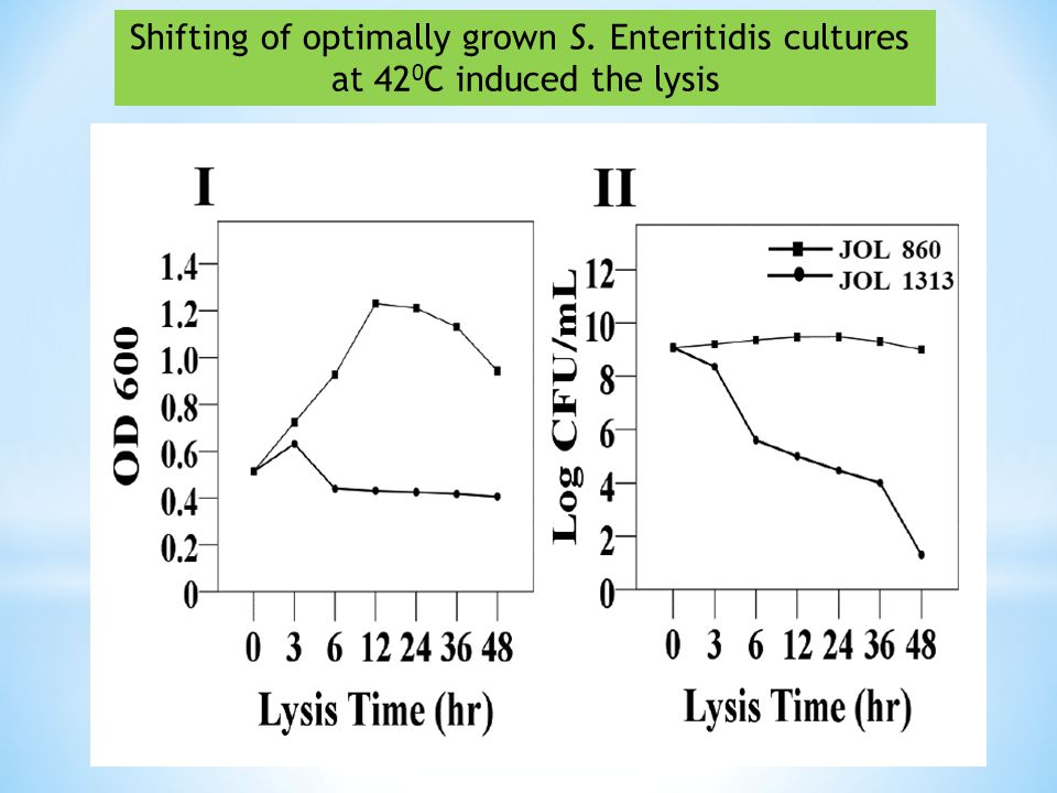 Shifting of optimally grown S. Enteritidis cultures at 42 0 C induced the lysis