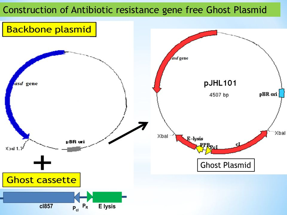 Construction of Antibiotic resistance gene free Ghost Plasmid pJHL101