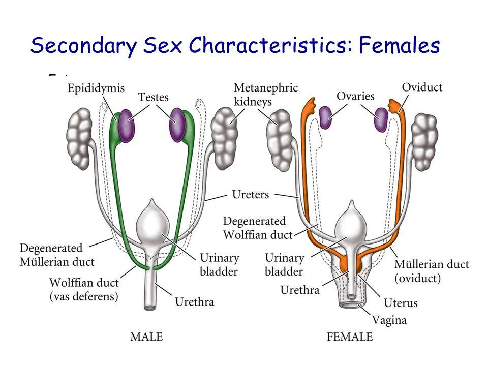 Secondary Sex Characteristics: Females Estrogen Fig. 14.3