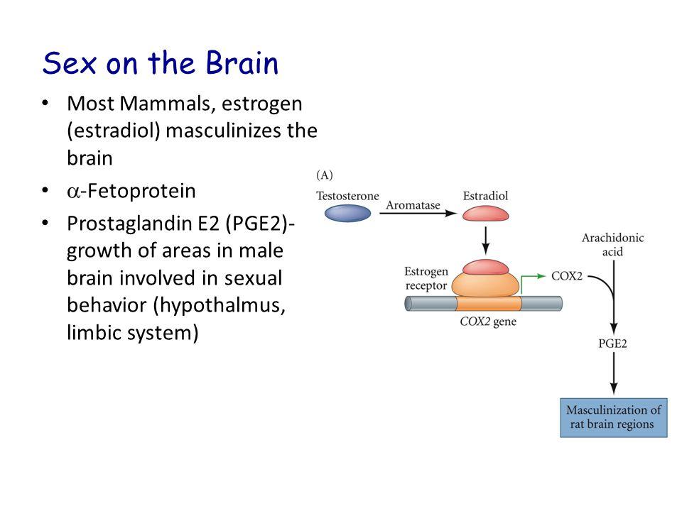Sex on the Brain Most Mammals, estrogen (estradiol) masculinizes the brain  -Fetoprotein Prostaglandin E2 (PGE2)- growth of areas in male brain invol