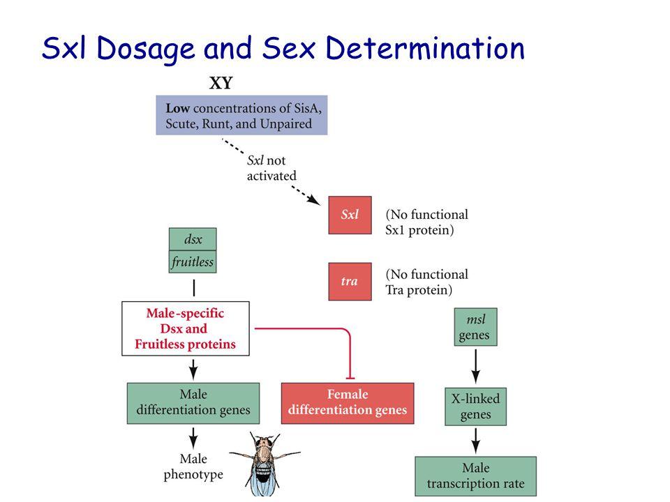 Sxl Dosage and Sex Determination