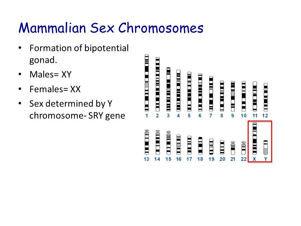 Mammalian Sex Chromosomes Formation of bipotential gonad. Males= XY Females= XX Sex determined by Y chromosome- SRY gene