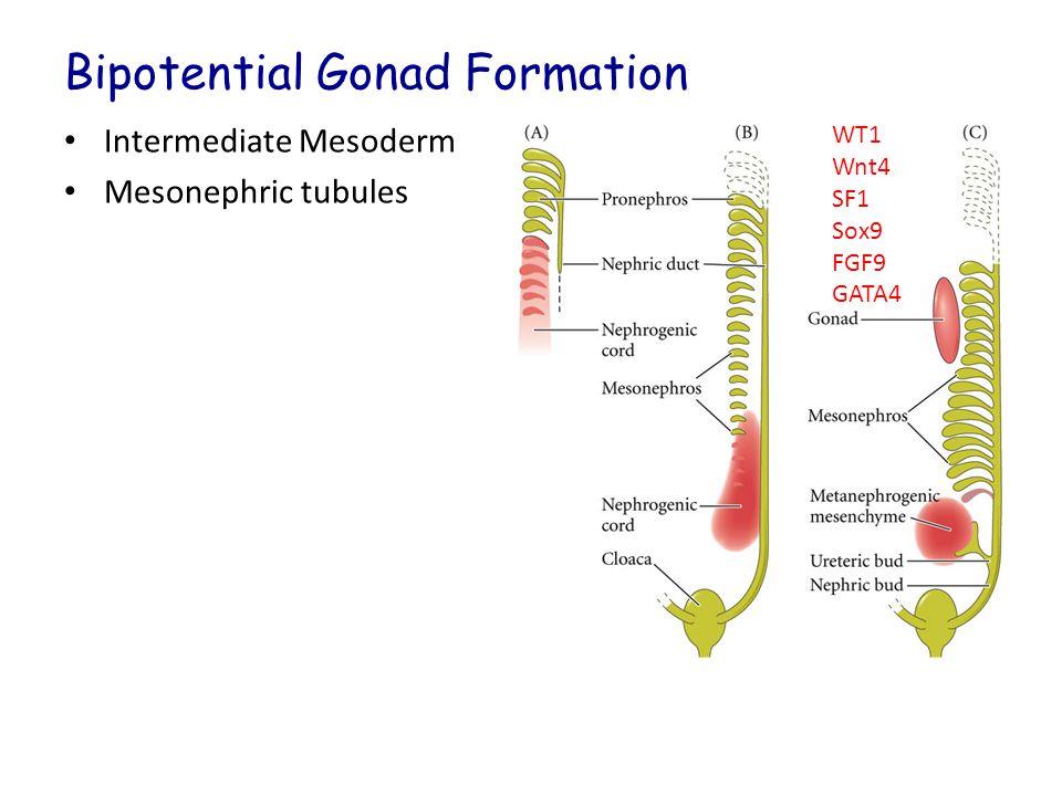 Bipotential Gonad Formation Intermediate Mesoderm Mesonephric tubules WT1 Wnt4 SF1 Sox9 FGF9 GATA4